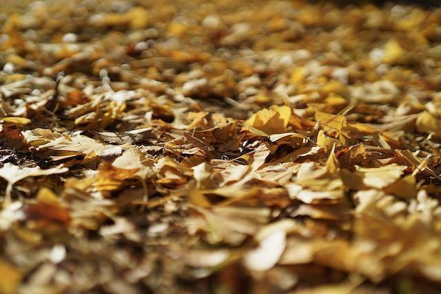 銀杏並木を撮りに_c0220337_16591872.jpeg