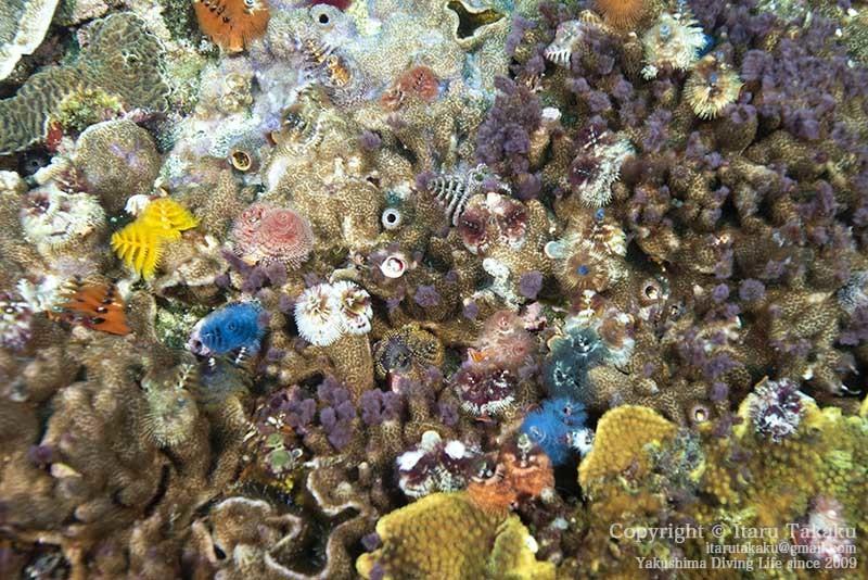 大隅諸島・竹島の海 -サンゴ調査より-_b0186442_21382052.jpg