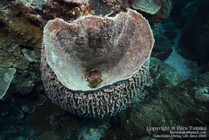 大隅諸島・竹島の海 -サンゴ調査より-_b0186442_21382058.jpg