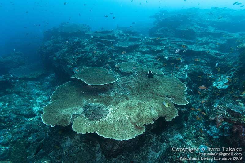 大隅諸島・竹島の海 -サンゴ調査より-_b0186442_21382149.jpg