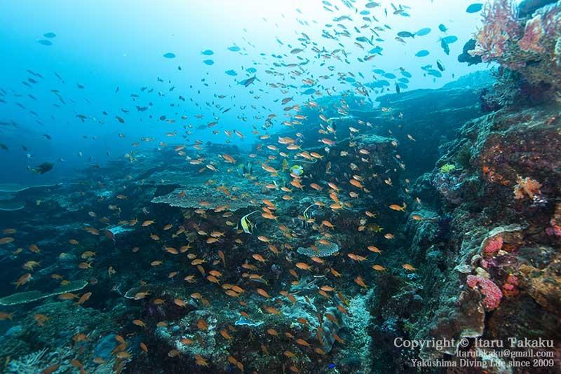 大隅諸島・竹島の海 -サンゴ調査より-_b0186442_21382189.jpg