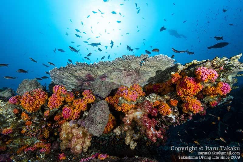 大隅諸島・竹島の海 -サンゴ調査より-_b0186442_21484915.jpg