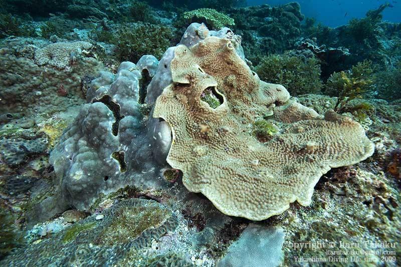 大隅諸島・竹島の海 -サンゴ調査より-_b0186442_22021369.jpg