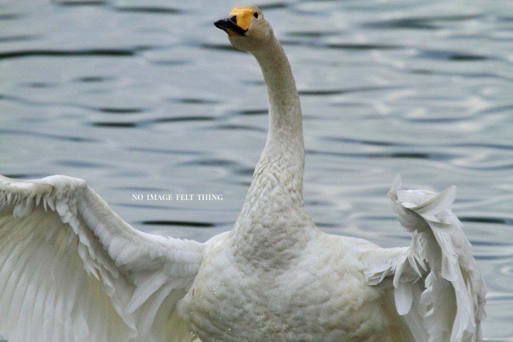 オオハクチョウの沼♪_d0367763_19410763.jpg