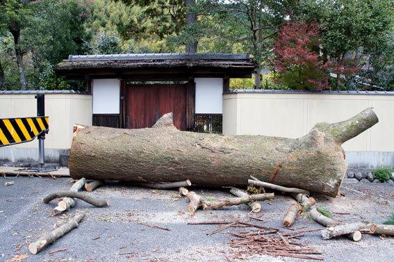 神社の老木伐採_b0145296_15470895.jpg