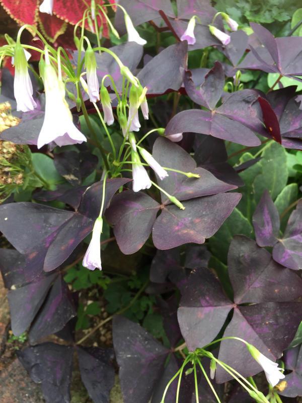 オキザリスの葉の裏の異変_d0090298_10275301.jpg