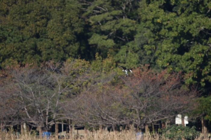 ミサゴの狩りは その19(失敗に)_f0239515_17375626.jpg