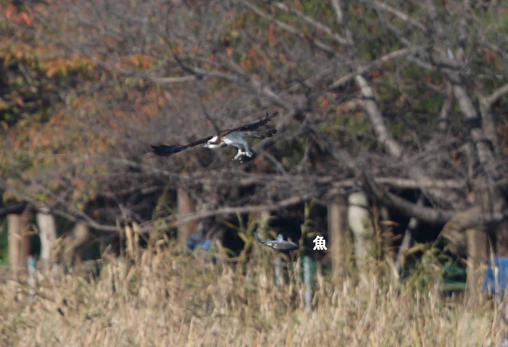 ミサゴの狩りは その19(失敗に)_f0239515_17385747.jpg