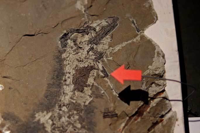 恐竜博2019:「最も奇妙な恐竜」チレサウルス、アンキオルニス~ペリット(吐き戻し)の化石_b0355317_21211192.jpg