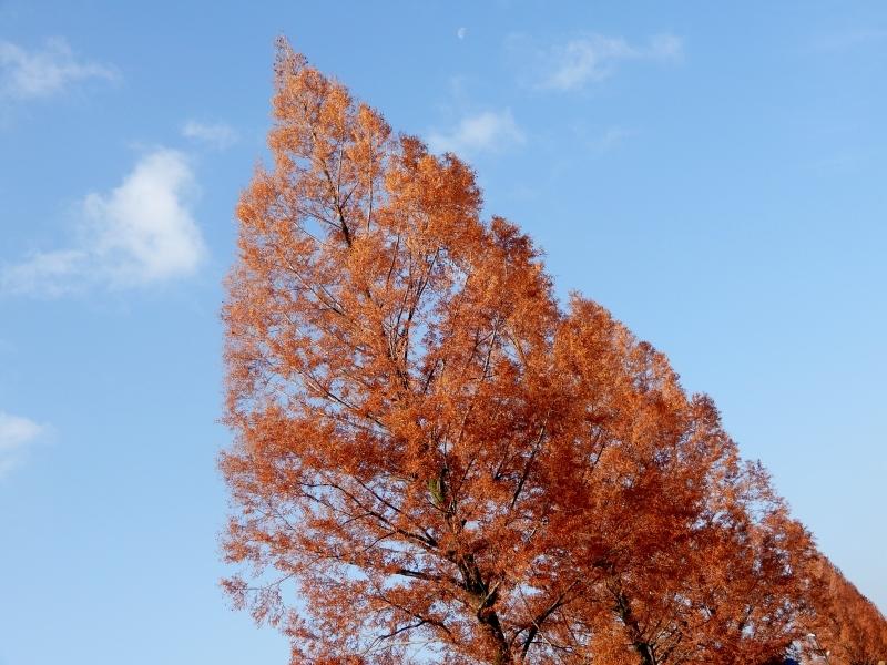 エルメスのツリー風に* metasequoia d\'Hermès?_f0374041_07551934.jpg