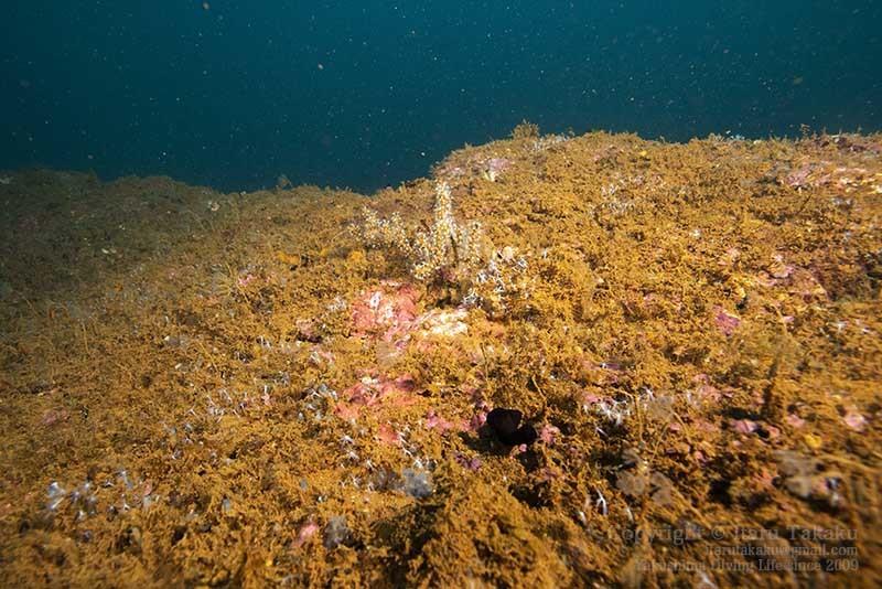 大隅諸島・硫黄島の海 -サンゴ調査より-_b0186442_19301555.jpg