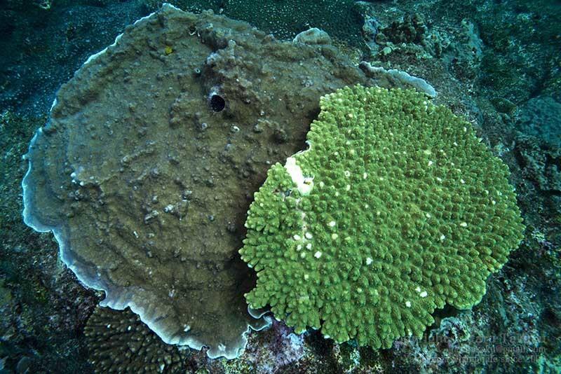 大隅諸島・硫黄島の海 -サンゴ調査より-_b0186442_19301592.jpg