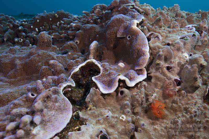 大隅諸島・硫黄島の海 -サンゴ調査より-_b0186442_19415848.jpg