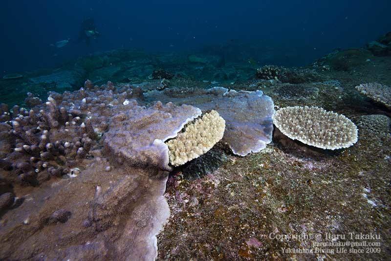 大隅諸島・硫黄島の海 -サンゴ調査より-_b0186442_19415962.jpg