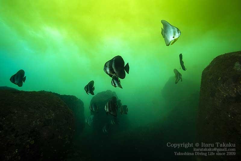大隅諸島・硫黄島の海 -サンゴ調査より-_b0186442_19523498.jpg