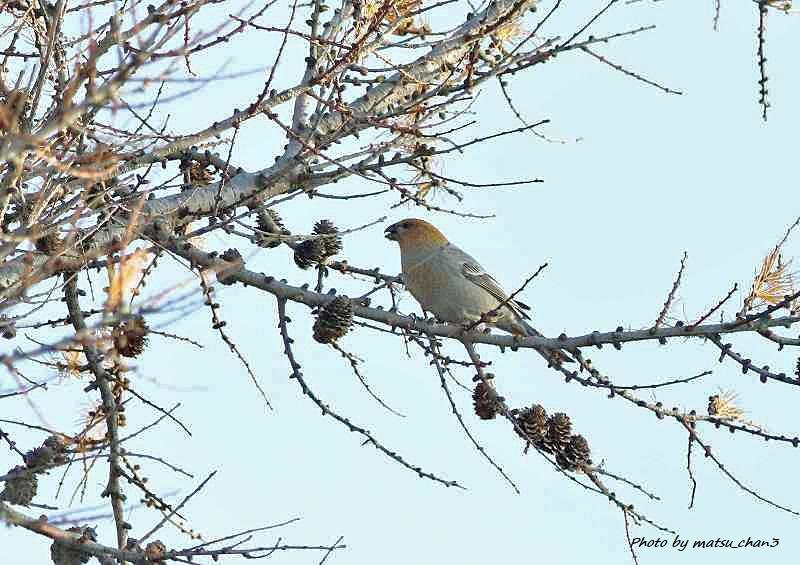 ギンザンマシコ  Pine Grosbeak_c0070654_17303082.jpg