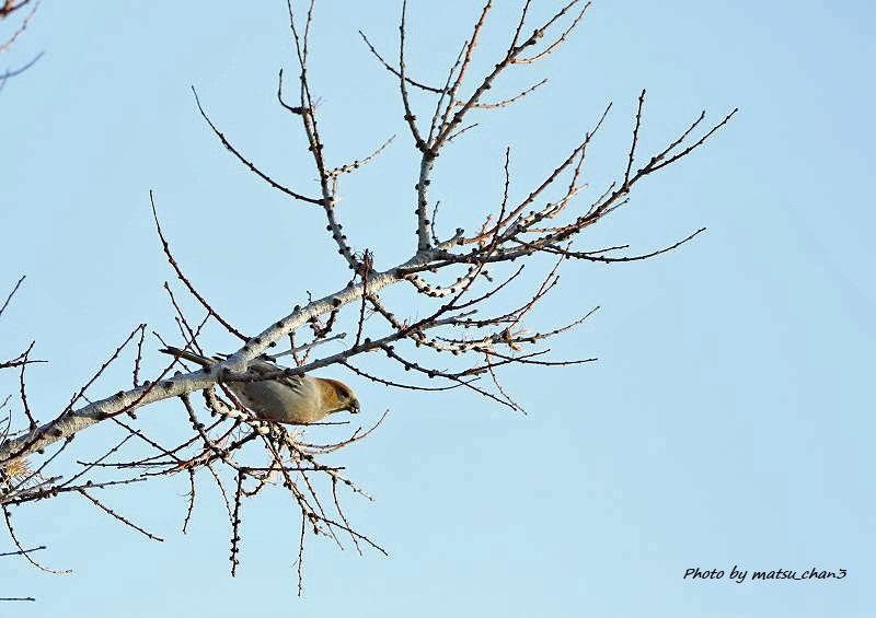 ギンザンマシコ  Pine Grosbeak_c0070654_17304444.jpg
