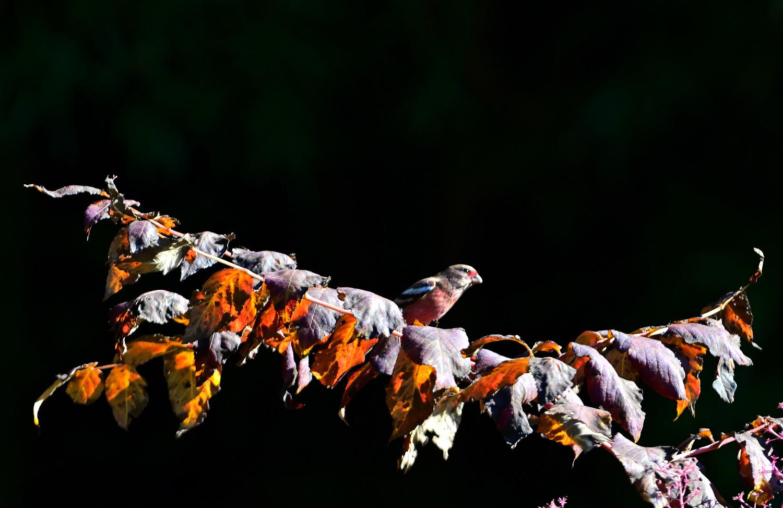 アザミの綿毛を食べる、「ベニマシコ」_e0362696_16131059.jpg