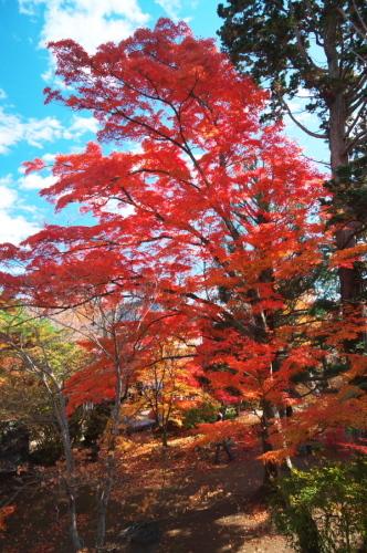 小諸城趾公園(懐古園)の紅葉3_a0263109_21432039.jpg