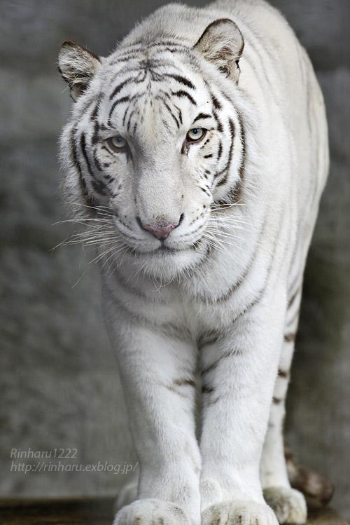 2019.11.23 東北サファリパーク☆ホワイトタイガーのマリンくん【White tiger】_f0250322_1335723.jpg
