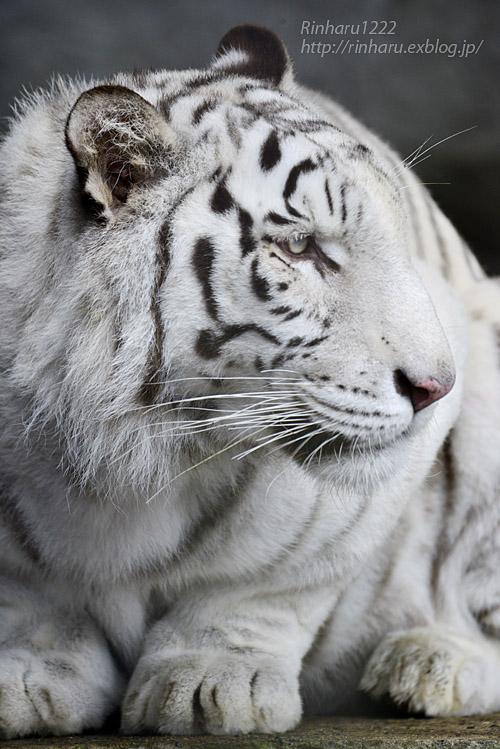 2019.11.23 東北サファリパーク☆ホワイトタイガーのマリンくん【White tiger】_f0250322_1341734.jpg