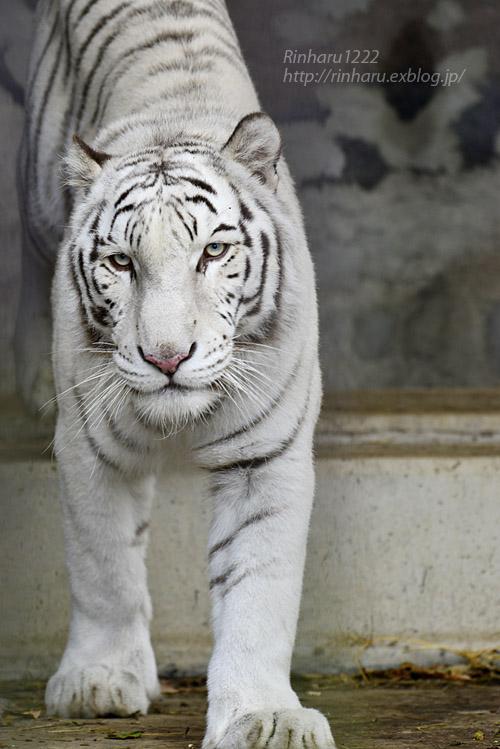 2019.11.23 東北サファリパーク☆ホワイトタイガーのマリンくん【White tiger】_f0250322_134211.jpg