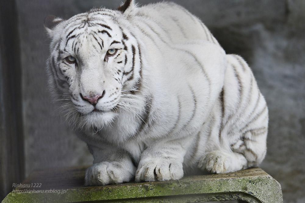 2019.11.23 東北サファリパーク☆ホワイトタイガーのマリンくん【White tiger】_f0250322_1342487.jpg
