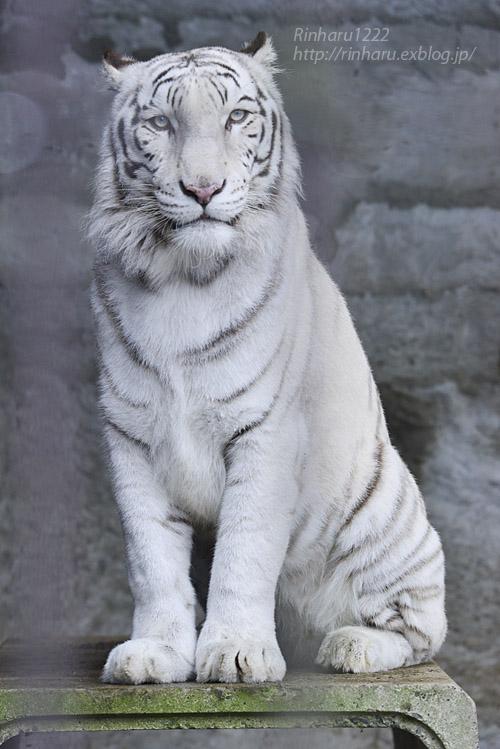 2019.11.23 東北サファリパーク☆ホワイトタイガーのマリンくん【White tiger】_f0250322_1343118.jpg