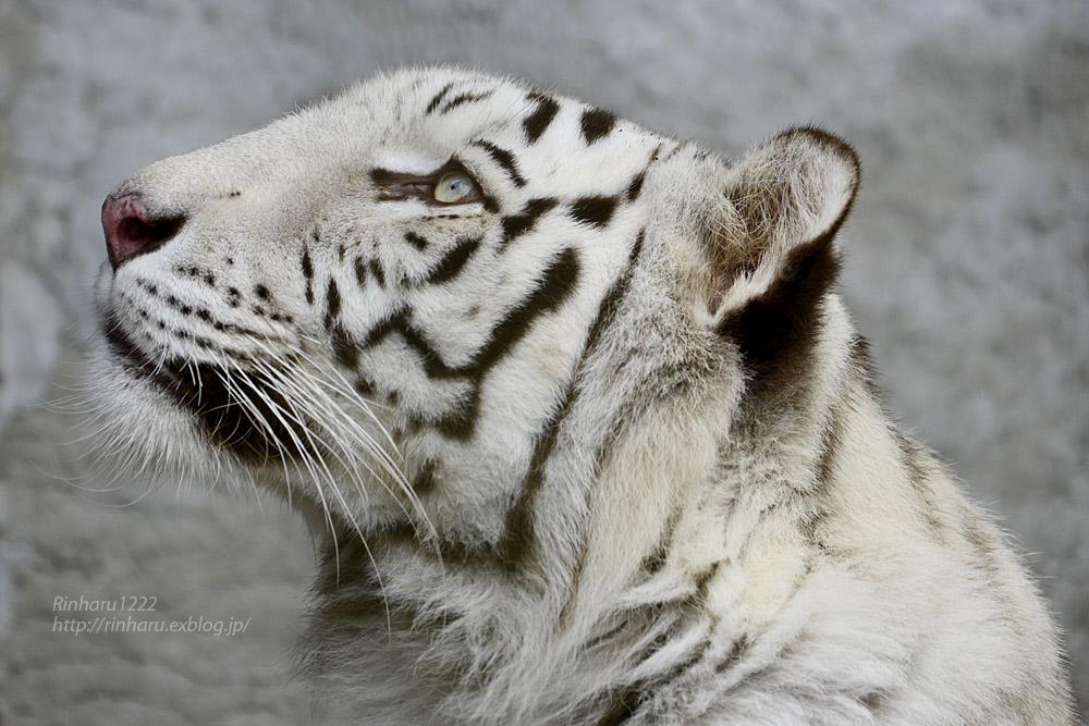 2019.11.23 東北サファリパーク☆ホワイトタイガーのマリンくん【White tiger】_f0250322_1344315.jpg