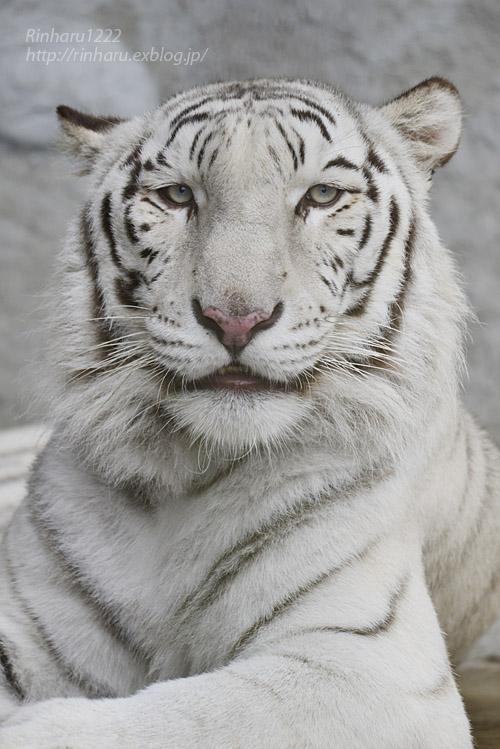 2019.11.23 東北サファリパーク☆ホワイトタイガーのマリンくん【White tiger】_f0250322_1345791.jpg