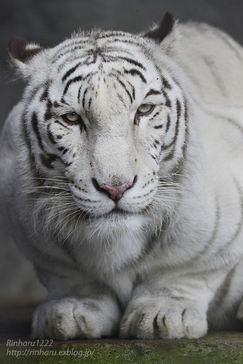 2019.11.23 東北サファリパーク☆ホワイトタイガーのマリンくん【White tiger】_f0250322_134925.jpg