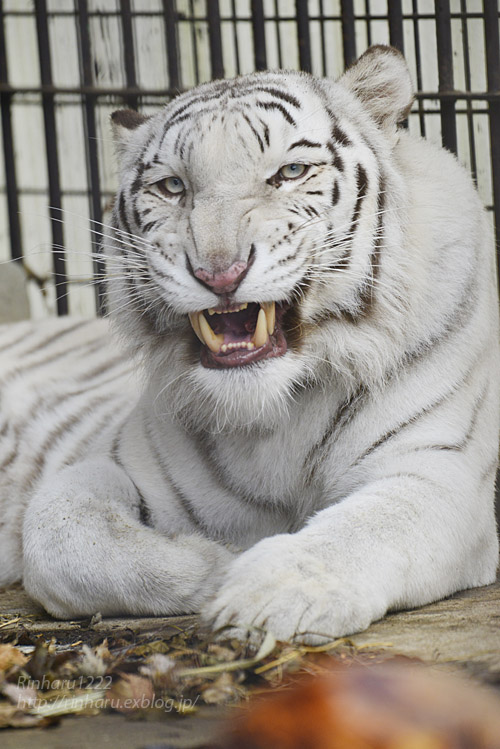 2019.11.23 東北サファリパーク☆ホワイトタイガーのマリンくん【White tiger】_f0250322_1351713.jpg