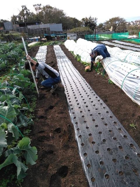 長ネギの土寄せ ブロッコリー達の防虫ネット外し ローズマリーの畝の整理 発芽していない蚕豆の播種_c0222448_12104433.jpg