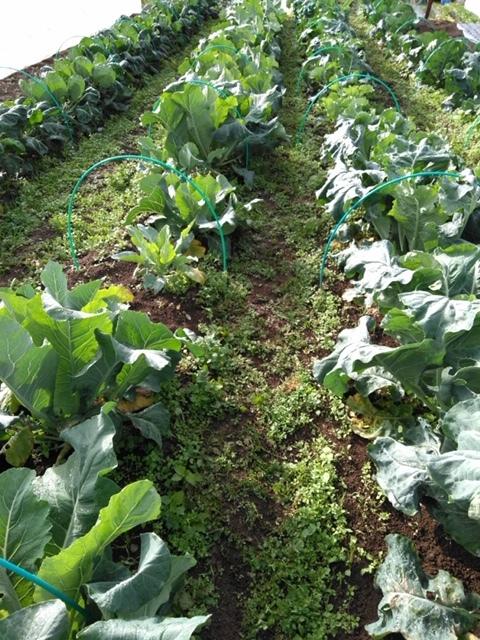 長ネギの土寄せ ブロッコリー達の防虫ネット外し ローズマリーの畝の整理 発芽していない蚕豆の播種_c0222448_12110199.jpg
