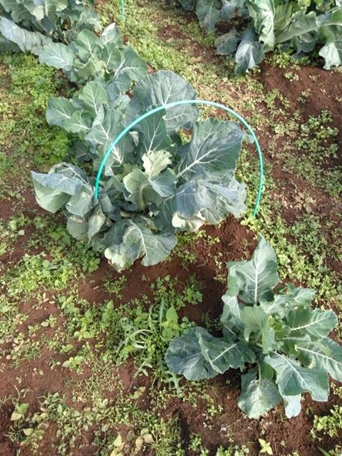 長ネギの土寄せ ブロッコリー達の防虫ネット外し ローズマリーの畝の整理 発芽していない蚕豆の播種_c0222448_12112579.jpg