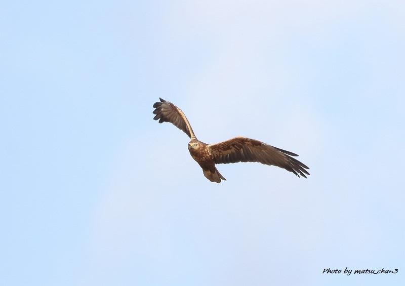 チュウヒ  Eastern Marsh Harrier_c0070654_16120333.jpg