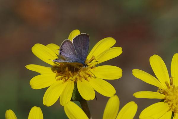 ツワブキに集まる蝶たち_e0167571_11122069.jpg