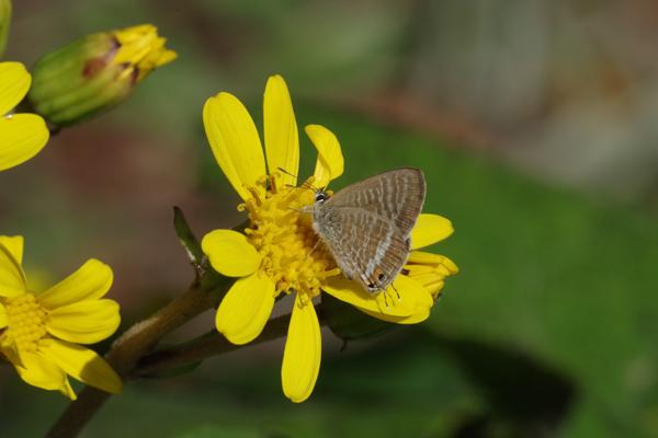 ツワブキに集まる蝶たち_e0167571_1112349.jpg