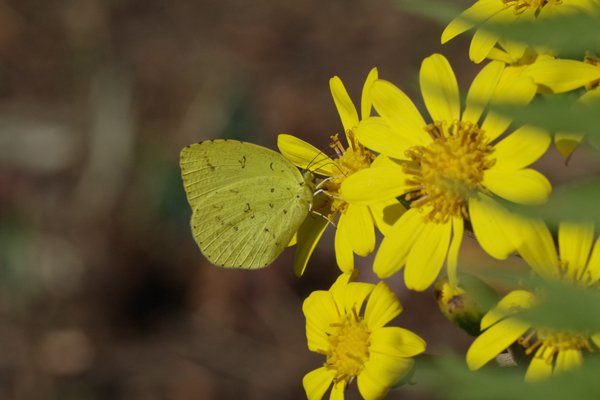 ツワブキに集まる蝶たち_e0167571_1112496.jpg