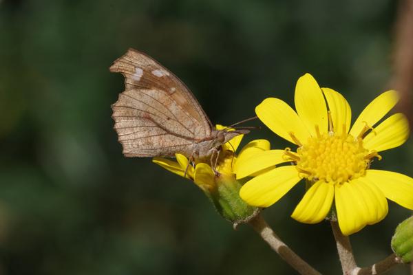 ツワブキに集まる蝶たち_e0167571_11131563.jpg