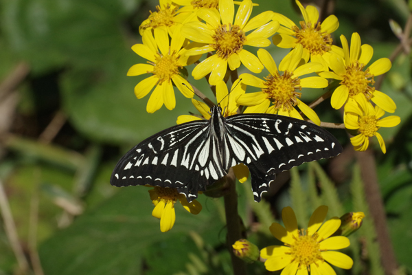ツワブキに集まる蝶たち_e0167571_1113242.jpg