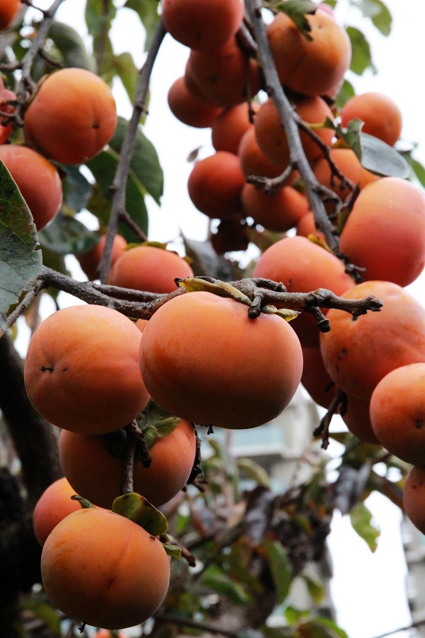 柿と山茶花_a0107574_16043124.jpg