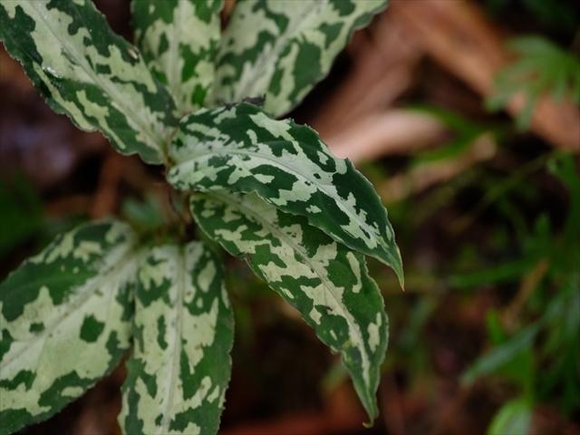 Aglaonema pictum BNN from Sibolga timur【AZ1119-4】その2_a0067578_20340130.jpg