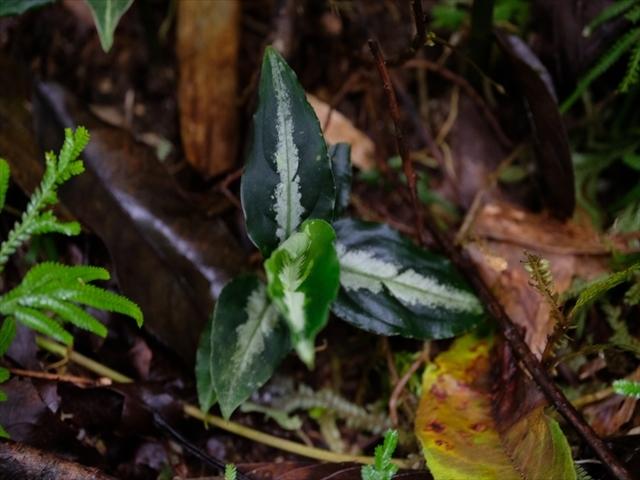 Aglaonema pictum BNN from Sibolga timur【AZ1119-4】その2_a0067578_20363109.jpg