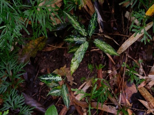 Aglaonema pictum BNN from Sibolga timur【AZ1119-4】その2_a0067578_20373254.jpg