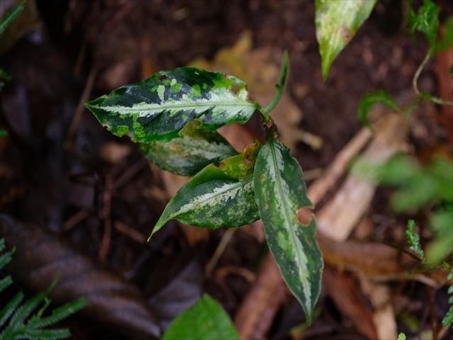 Aglaonema pictum BNN from Sibolga timur【AZ1119-4】その2_a0067578_20380988.jpg