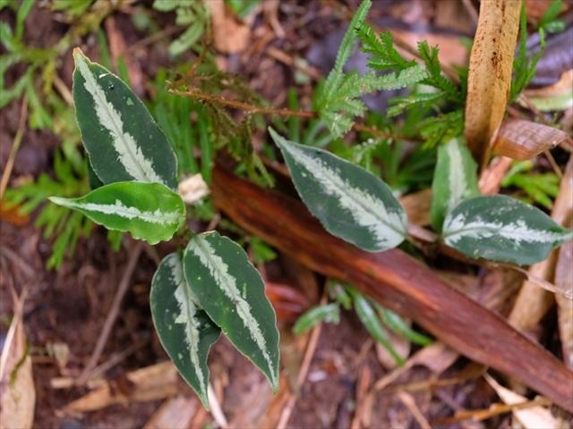 Aglaonema pictum BNN from Sibolga timur【AZ1119-4】その3_a0067578_20442395.jpg