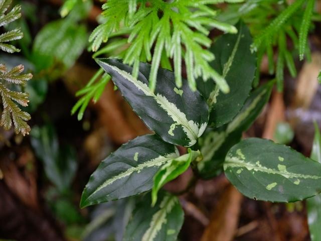 Aglaonema pictum BNN from Sibolga timur【AZ1119-5】_a0067578_21375691.jpg