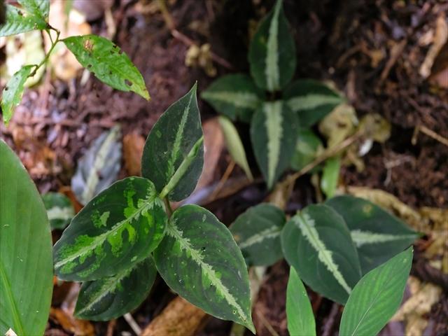 Aglaonema pictum BNN from Sibolga timur【AZ1119-5】_a0067578_21452215.jpg