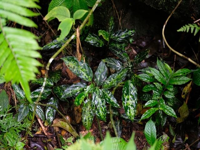 Aglaonema pictum BNN from Sibolga timur【AZ1119-5】_a0067578_21470249.jpg